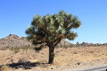 North America - USA - California - Joshua Tree Park. Joshua Tree - the symbol of the Park. Beattiful exemplar. Where it is sourcing water is a real secret.