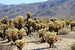 North America - USA - California - Cactus Garden. Cholla cactus. Plenty of them, creating a beautiful cactus garden, in the middle of nowhere.